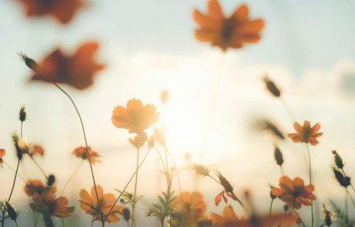 Vintage color filter cosmos flower field.